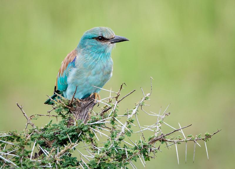 Serengeti, Tanzania: Eurasian Roller