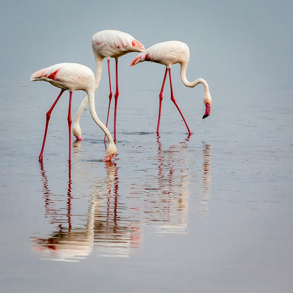 Lake Masek, Tanzania: Greater Flamingo