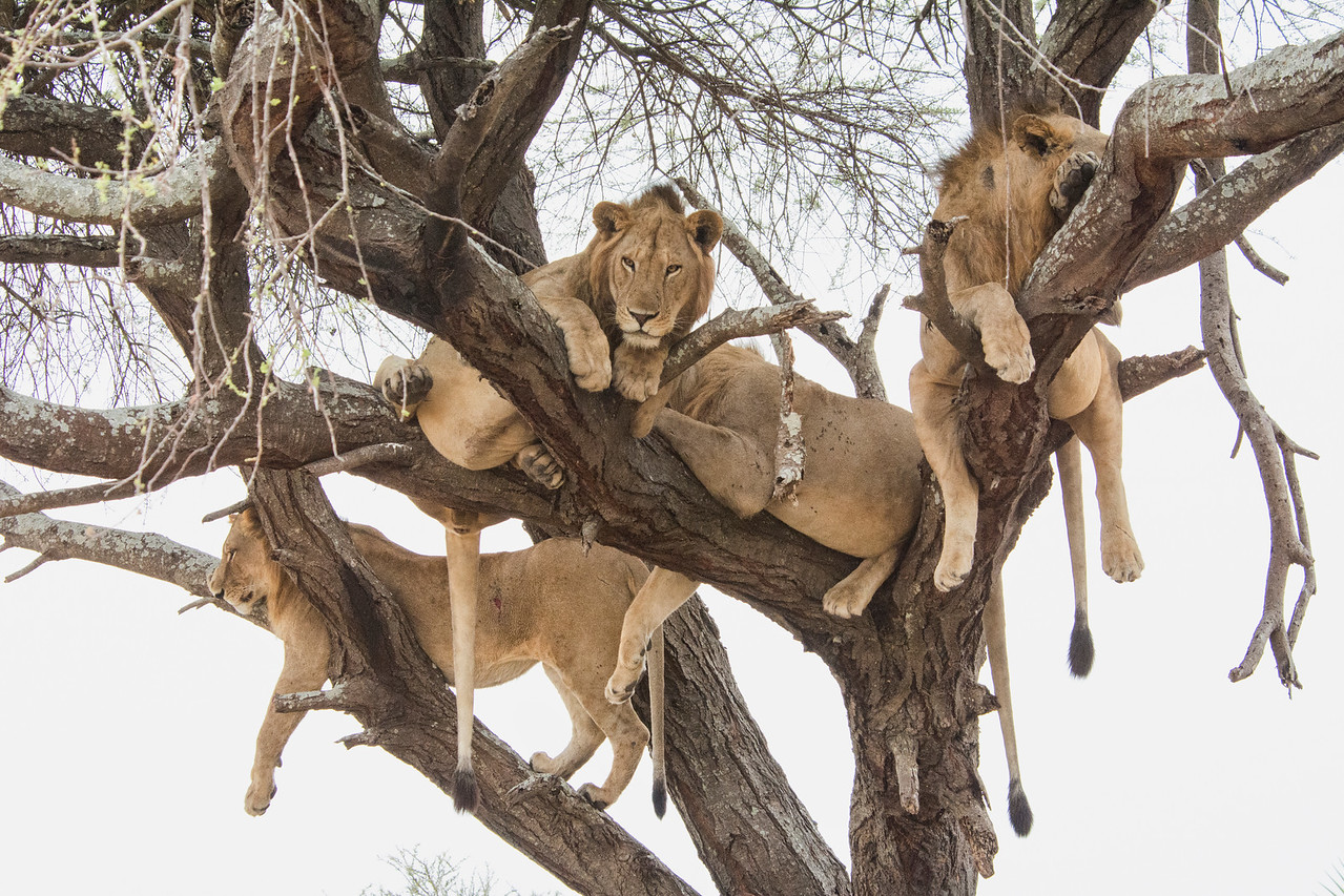Lions in tree-2