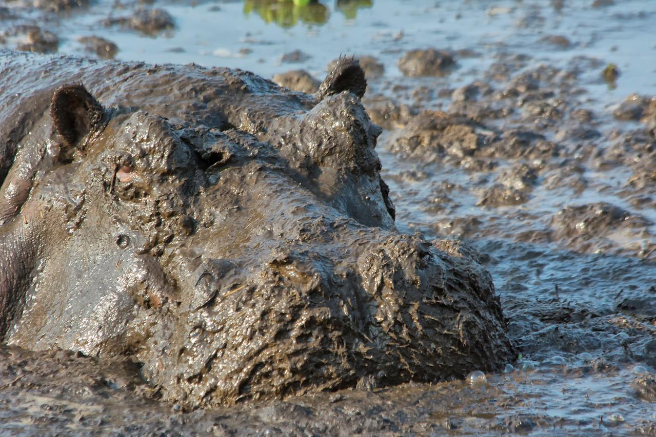 Hippo pool Katavi-5 muddy face