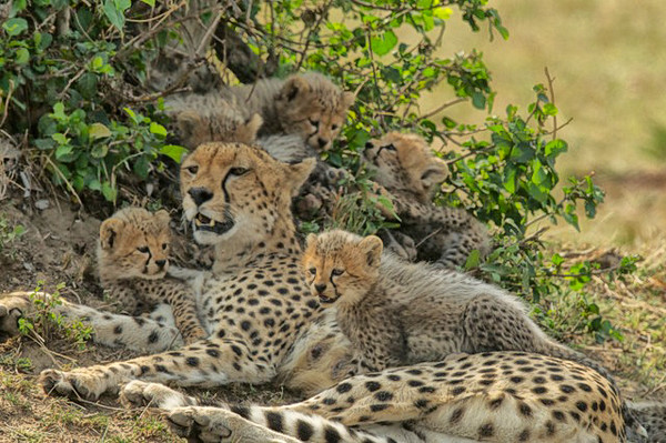 Cheetah and cubs-Joan Miller