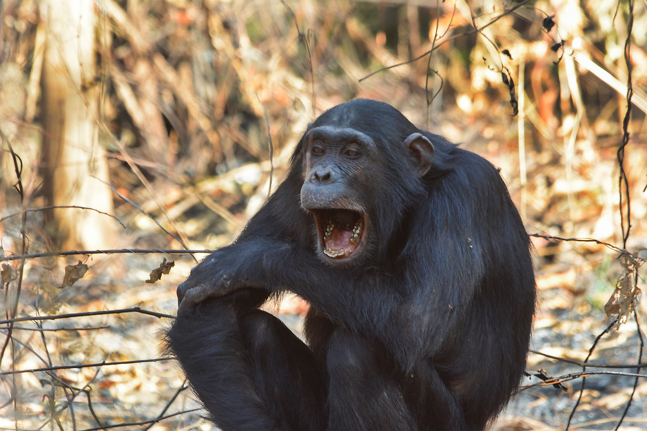Chimp screaming_2600