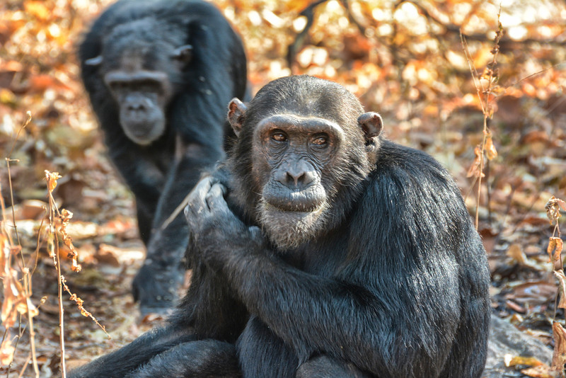 Two chimps_2445