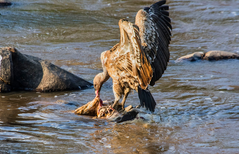 Vulture eating carcass-Mara River