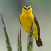 Tejedor del antifaz/ Black-necked Weaver
