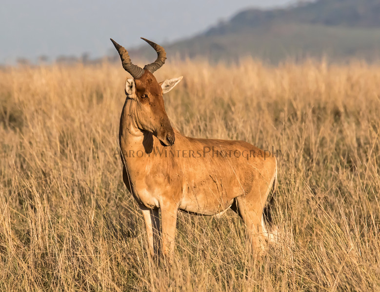 Have A Hartebeest