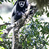 Waiting For Colobus