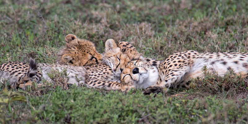 Cheetahed Out