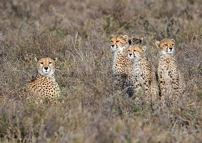 Feeling Cheetahed