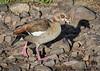 Egyptain Goose