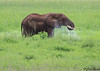 Bull elephant taking a drink