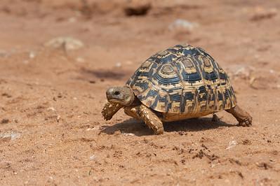 Leopard tortoise, Tarangire
