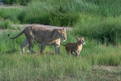 Lioness and cub, Tarangire