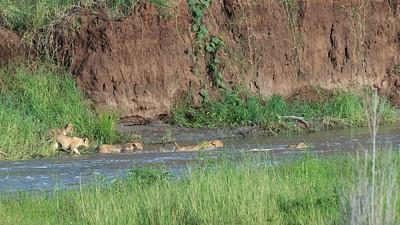 Lion cubs swimming, Tarangire