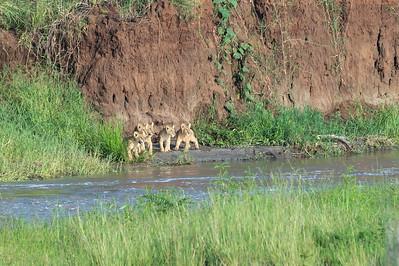 Lion cubs, Tarangire