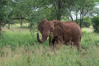 Elephant, Tarangire