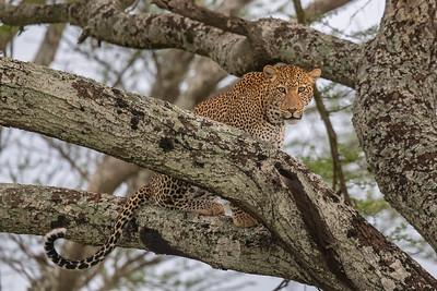 Leopard, Tarangire