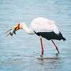 Yellow-billed stork (with dinner)