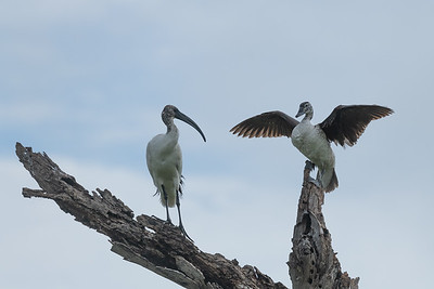 Sacred ibis and knob-billed duck