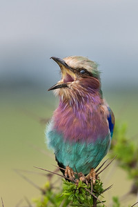 Lilac-breasted roller, Tarangire
