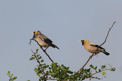 Wattled starlings, Tarangire