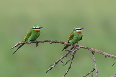 Blue-cheeked bee-eaters, Tarangire