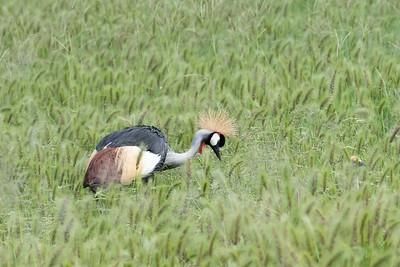 Crowned crane, Tarangire