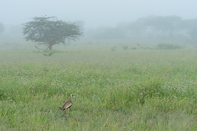 Black-bellied bustard, Tarangire