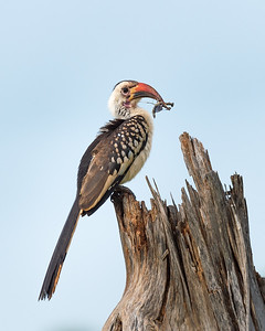 Red-billed hornbill and praying mantis, Tarangire