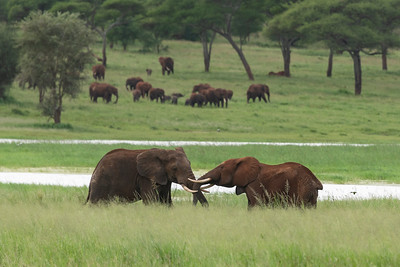 Elephants, Tarangire
