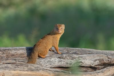 Dwarf mongoose, Tarangire