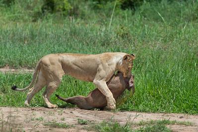 Lioness and warthog, Tarangire