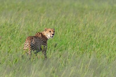 Cheetah,Tarangire