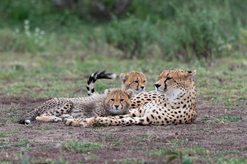Cheetah and cubs, Serengeti