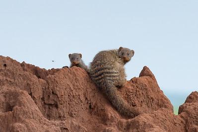 Banded mongoose, Tarangire