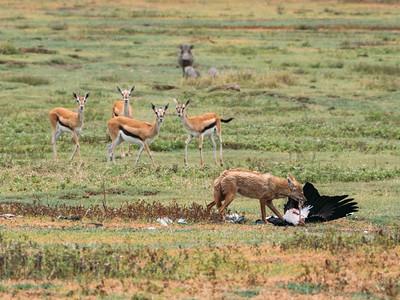 Jackal and morbidly curious gazelles