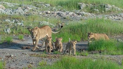 Lioness and cubs, Tarangire