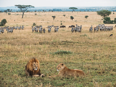 Lions and observers