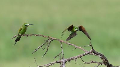 Blue-cheeked bee-eaters, Tarangire