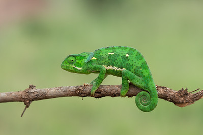 Flat-necked chameleon, Tarangire