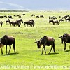 White-bearded wildebeest migrating north.