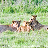 Lion Moms & 5 cubs.