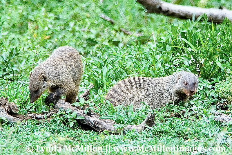 Banded mongoose pair.
