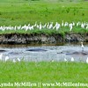 Hippo mounds and egrets.