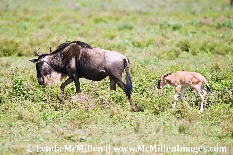 Days old wildebeest calf and Mom.