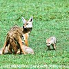 Golden Jackal with pups.