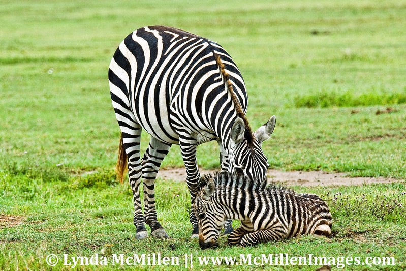 Newborn zebra and mother.