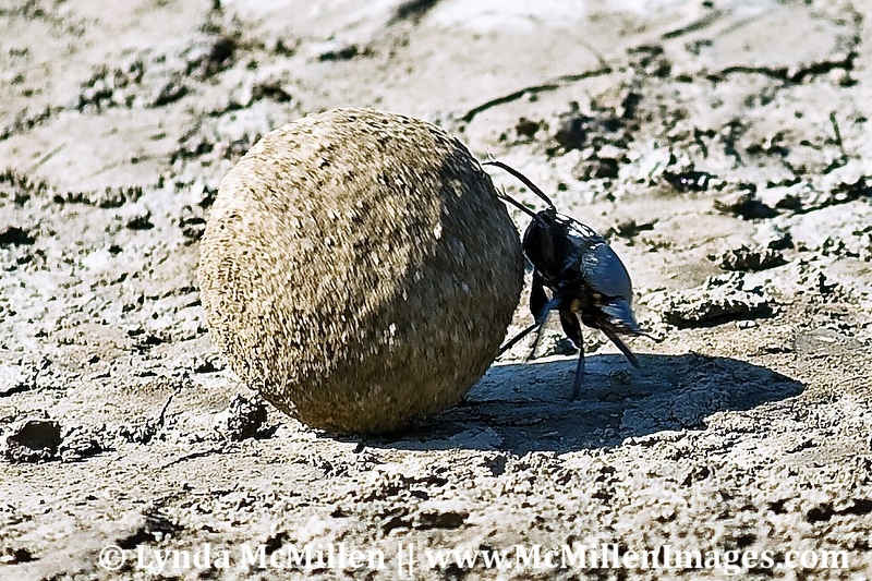 Dung Beetle with dung-ball the size of a tennis ball.