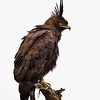 Black Long Crested Eagle