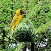 Yellow weaver and its nest.
